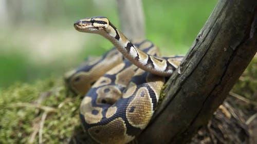 Royal Python or Python Regius on Wooden Snag