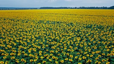 Sunflower Blooming in a Vast Sunflower Field Fluttering in the Wind