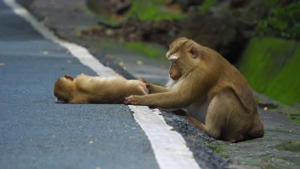 Thumbnail for Monkey Family on The Road Are Cleaned. Mum Cares for The Baby Monkey