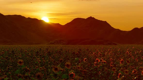 Cover Image for Sunflower Field