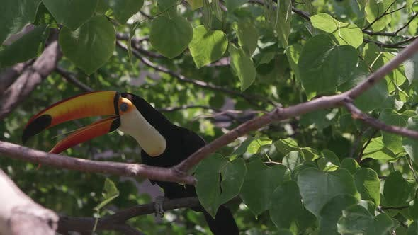 Toucan hiding in tree looking around