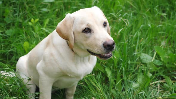 Thumbnail for Cute Labrador or Golden Retriever Sitting on Green Grass in Yard. Attentive Animal Looking To