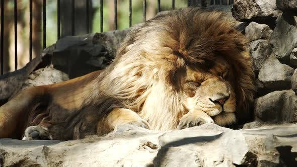 Thumbnail for Portrait Of African Lion Sleeping In The Zoo Cage