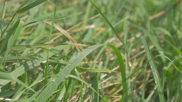 Thumbnail for Am frühen Morgen zog Tropfen über Gras 4K 2160p UHD Footage - Tautropfen natürlichen grünen frischen Hintergrund