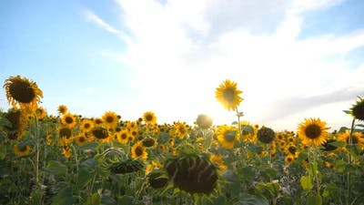 Beautiful Nature Scene of Meadow with Blooming Sunflowers
