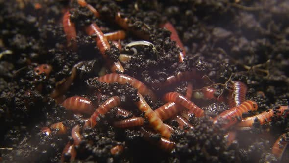 Group of earthworms close up. Worms in black soil.