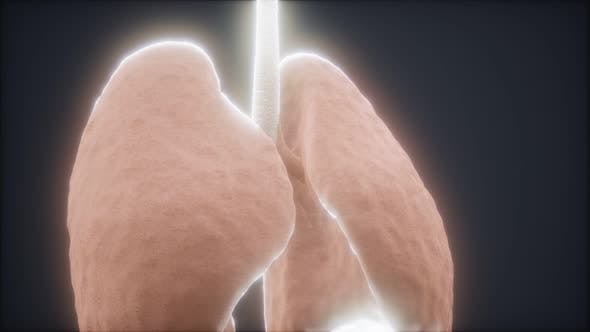 Thumbnail for 3d Human Lungs