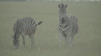 Zebra Zebras in the Field. Slow Motion
