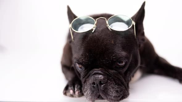 French Bulldog Wearing Round Sunglasses on Its Head
