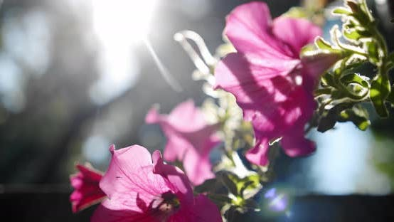 Thumbnail for Pink Salmon Petunia Flower with Sunrise and Swaying in the Breeze. Close Up Slow Motion V2