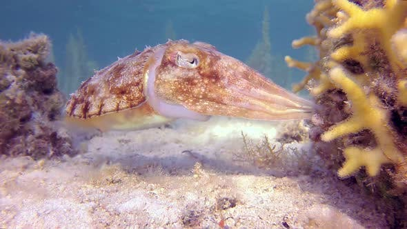 Thumbnail for Tropical Cuttlefish Laying Eggs
