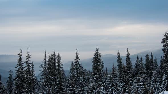 Thumbnail for Wind weht auf verschneite junge Tannenbäume
