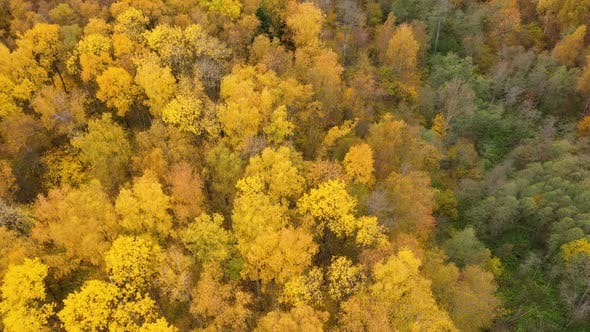 Thumbnail for Flight Over the Autumn Forest, Crowns of Trees with Yellow Foliage, Deciduous Forest in the Fall