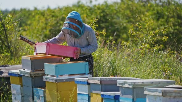 Beekeeper works in apiary. Beekeeper checking honeycomb frame with bees in his apiary