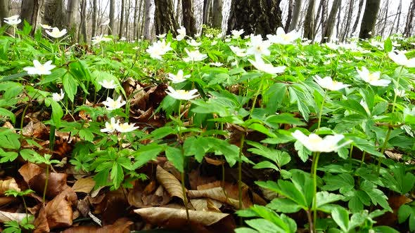 White anemone flowers in the forest.