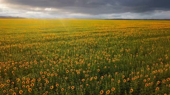 Cover Image for Sunflower Field From Above