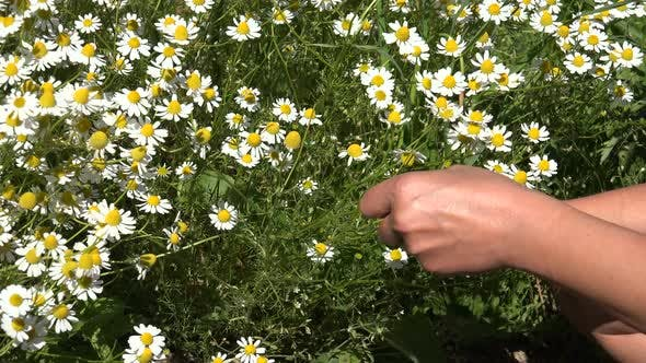 Thumbnail for Camomile or Growing a Medicinal Herb Garden 5