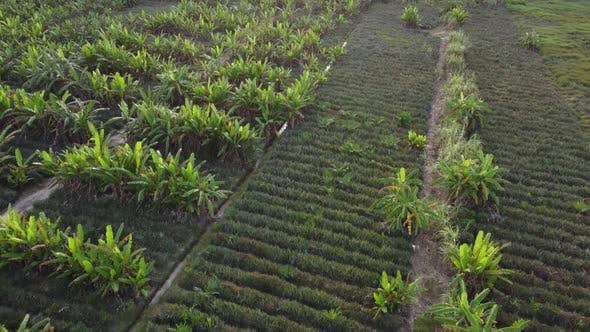 Banana farm aerial view