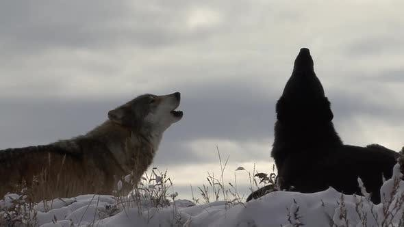 Wolf Adult Pair Wolves Calling Howling in Winter Howl Moan Song Call Skyward Sky Skyline