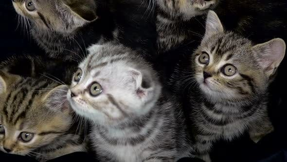 Thumbnail for Little Scottish Fold and Straight Kittens Are Sitting in an Enclosed Space