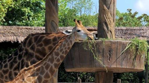 Two Giraffes Eating Grass in a Zoo. Giraffes in Safari Park, Beautiful Giraffes in the Zoo