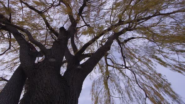 Thumbnail for Panning full tree looking up at branches blowing in wind