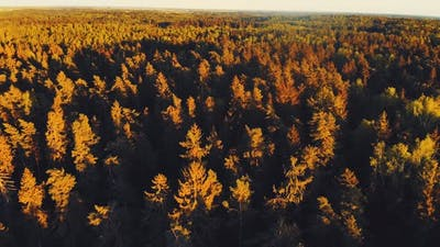 Aerial Pine Woods Background During Sunset