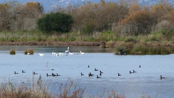Thumbnail for Ducks and swans in a lake