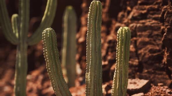 Thumbnail for Cactus in the Arizona Desert Near Red Rock Stones