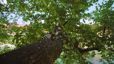 Birds Jump on Oak Tree Trunk to Crown Under Clear Sky