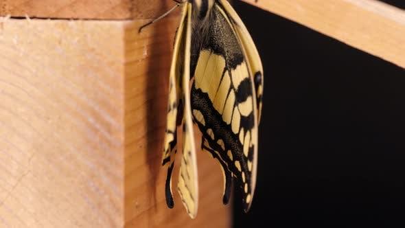 Papilio machaon, the Old World swallowtail butterfly tilt shot