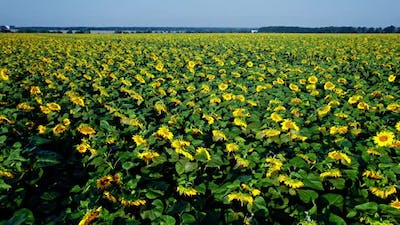 Yellow Farm Field with Sunflowers