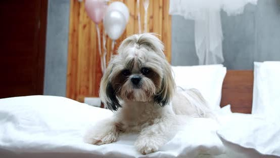 Thumbnail for Lying on the Bed Shih-tzu Dog in Sunny Room
