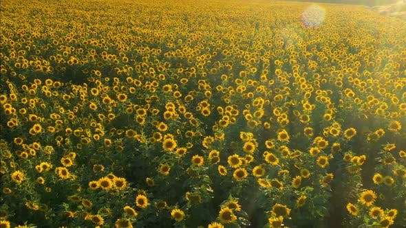Thumbnail for Sunset At The Sunflower Field Aerial View 3