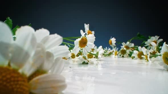 Fleurs de Camomille Fresh Field avec des gouttes d'eau