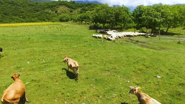 Drone Flight Over Cows and Sheep Grazing on Green Lawn, Herding and Farming