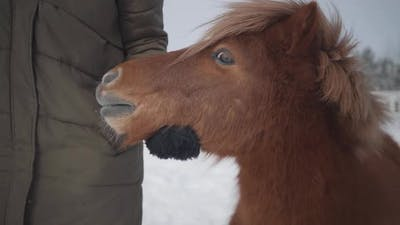 Unrecognized Woman Strokes Muzzle Adorable Small Pony at a Ranch Close Up. Girl in Warm Clothing