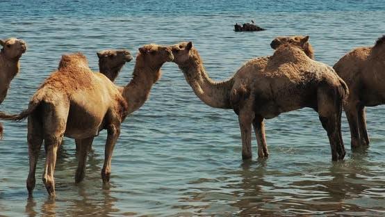 Thumbnail for Swiming and Enjoying Camel Ride on the Beach of Djerba