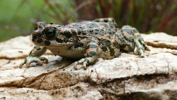 Thumbnail for European green toad on a rock