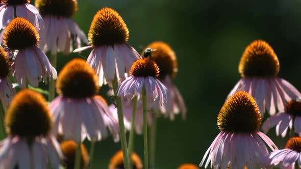 Thumbnail for Biene auf Echinacea Blumen, Zeitlupe