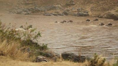 Gnus crossing river