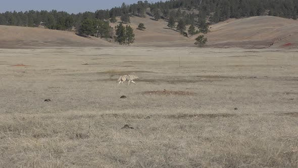Thumbnail for Tracking of Coyote Running Trotting in Spring in Prairie Dog Town or Colony