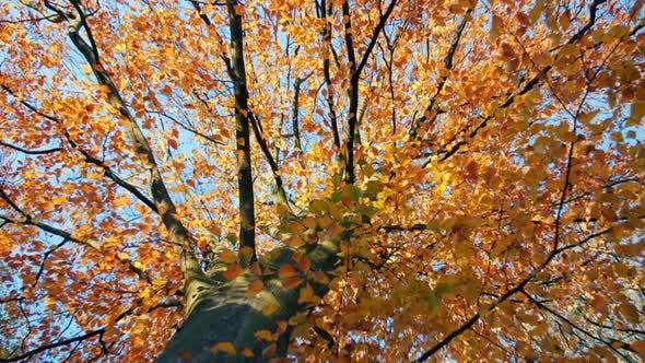 Thumbnail for Beautiful Autumn Tree