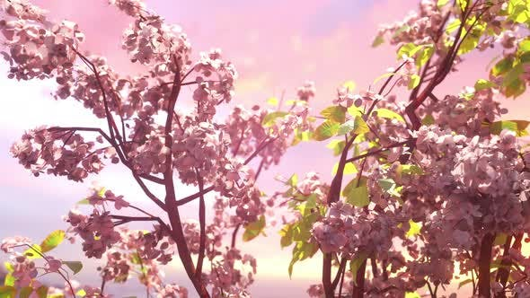Thumbnail for Spring Cherry Blossoms