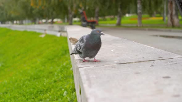 Thumbnail for Pigeon Walking Outdoors in the City
