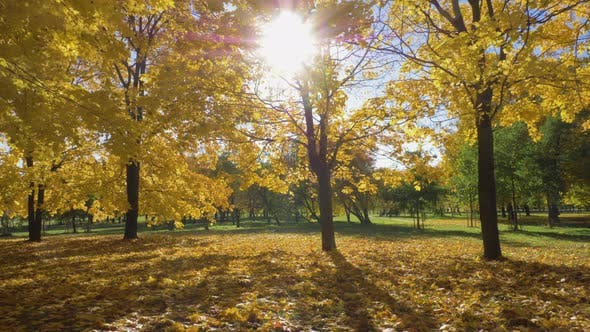 Thumbnail for Park or Forest with Yellow Maple Trees at Sunny Autumn Day