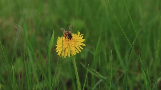 The Bee Flies Off the Dandelion Dusting It