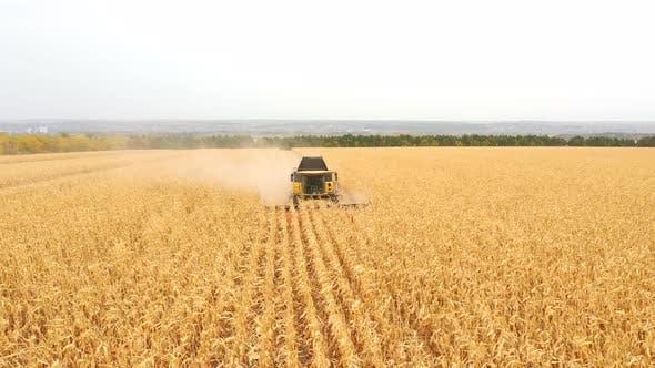 Luftaufnahme von Harvester, der Maisernte auf Ackerland sammelt. Kombinieren Sie das Arbeiten am Bauernhof während der Ernte