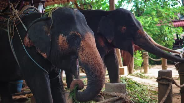 Thumbnail for Asian elephants eating cane on the farm for entertainment tourists