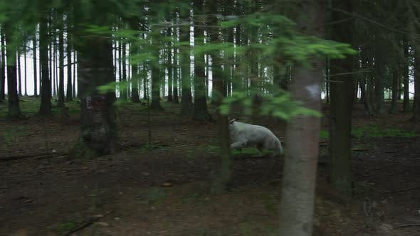 Wolf running into the woods